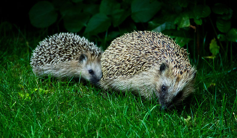 Hedgehog mother and child.jpg